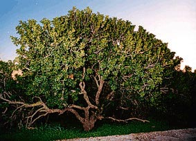 PIRAUES Photo of Mastic Tree CLICK TO ENLARGE
